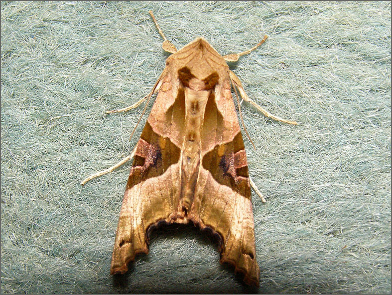 UIL_0305_agaatvlinder_phlogophora meticulosa