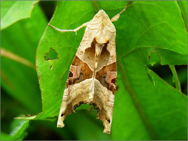 UIL_0307_agaatvlinder_phlogophora meticulosa
