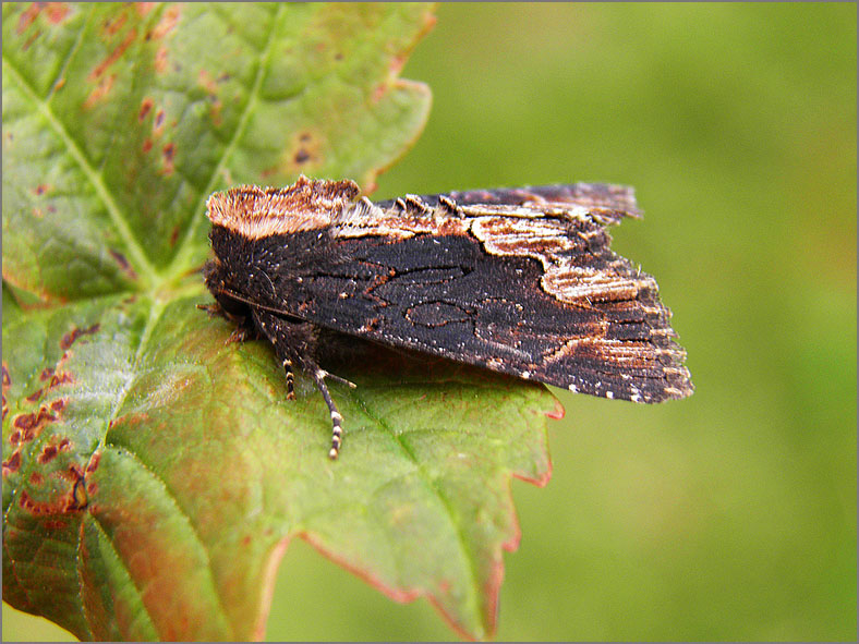 UIL_0310_vogelwiekje_dypterygia scabriuscula