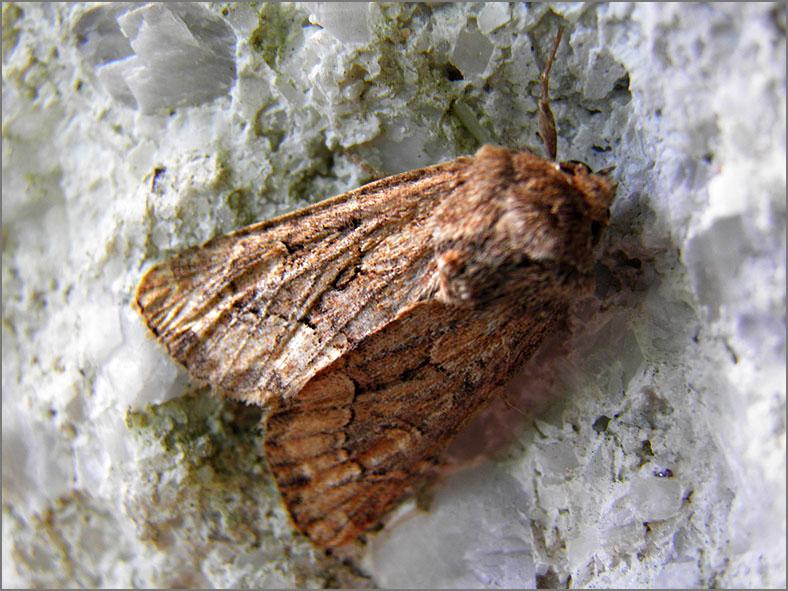 UIL_0336_halmrupsvlinder_mesapamea secalis