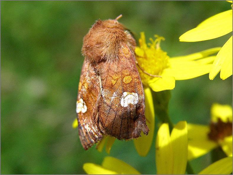 UIL_0371_roodbruine vlekuil_amphipoea oculea