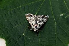 UIL_0010_schijn-nonvlinder_panthea coenobita