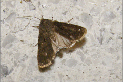 UIL_0023_gewone velduil_thalpophila matura