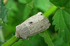 UIL_0125_sierlijke voorjaarsuil_orthosia gracilis