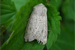 UIL_0126_sierlijke voorjaarsuil_orthosia gracilis
