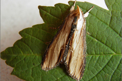 UIL_0187_helmkruidvlinder_shargacucullia scrophulariae