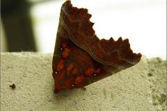 UIL_0575_roesje_scoliopteryx libatrix