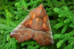 UIL_0576_roesje_scoliopteryx libatrix