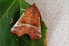 UIL_0578_roesje_scoliopteryx libatrix