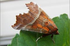 UIL_0579_roesje_scoliopteryx libatrix