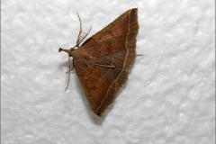 UIL_0600_polypogon plumigeralis