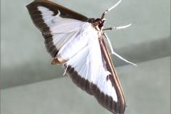 MICR_0003_buxusmot_cydalima perspectalis crambidae