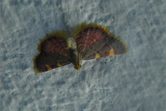 MICR_0005_triangelmot_hypsopygia costalis