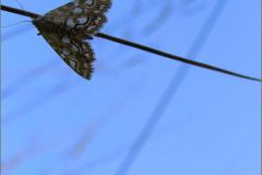 MICR_0008_waterleliemot_elophila nymphaeata