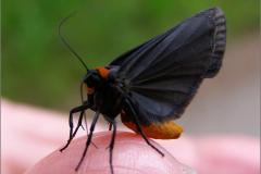 BEER_0007_zwart beertje_atolmis rubricollis
