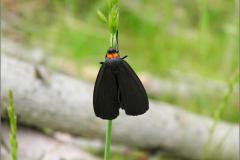 BEER_0008_zwart beertje_atolmis rubricollis
