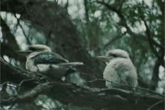 A_VOG_0001_01_Australië_ laughing kookaburra_dacelo novaeguineae
