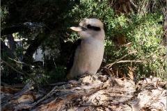 A_VOG_0001_02_Australië_ laughing kookaburra_dacelo novaeguineae