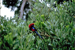 A_VOG_0003_Australië_ crimson rosella_platycercus elegans