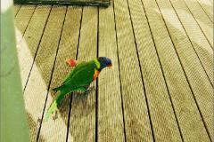 A_VOG_0008_01_Australië_ rainbow lorikeet_trichoglossus haematodus