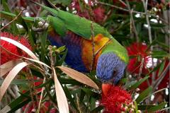 A_VOG_0008_02_Australië_ rainbow lorikeet_trichoglossus haematodus