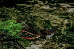A_VOG_0010_Australië_lyrebird_menura sp