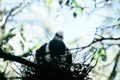 A_VOG_0011_Australië_pigeon_geophaps  sp