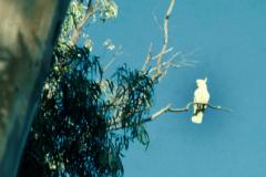 A_VOG_0012_Australië_ white cockatoo_cacatua alba