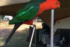 A_VOG_0013_Australië_australische koningsparkiet_alisterus scapularis