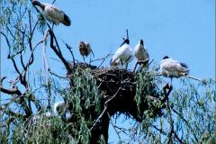 A_VOG_0016_Auastralië_heilige ibis_threskiornis aethiopicus