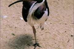 A_VOG_0017_Australië_strohalsibis_threskiornis spinicollis
