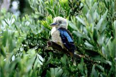 A_VOG__0001_03_Australië_blauwvleugelkookaburra of blauwvleugelijsvogel_dacelo leachii