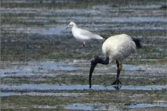 XCB_VOG_0001 heilige ibis_geringd_threskiornis aethiopicu
