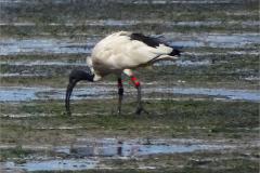 XCB_VOG_0002 heilige ibis_geringd_threskiornis aethiopicu