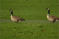 XCD_VOG_0005_grote canadese gans_geringd_A75_G37_branta canadensis