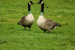 XCD_VOG_0006_grote canadese gans_geringd_G20_G26_branta canadensis