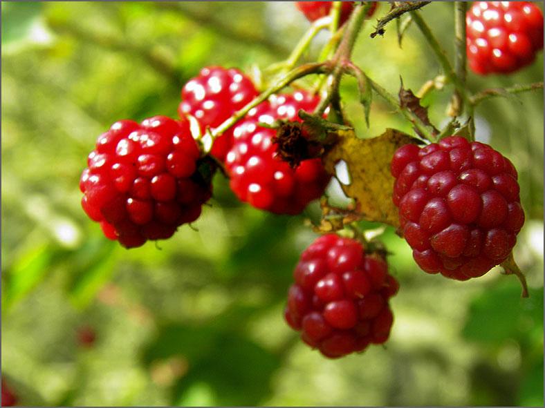 VRCH_0057_braam_rubus fruticosus