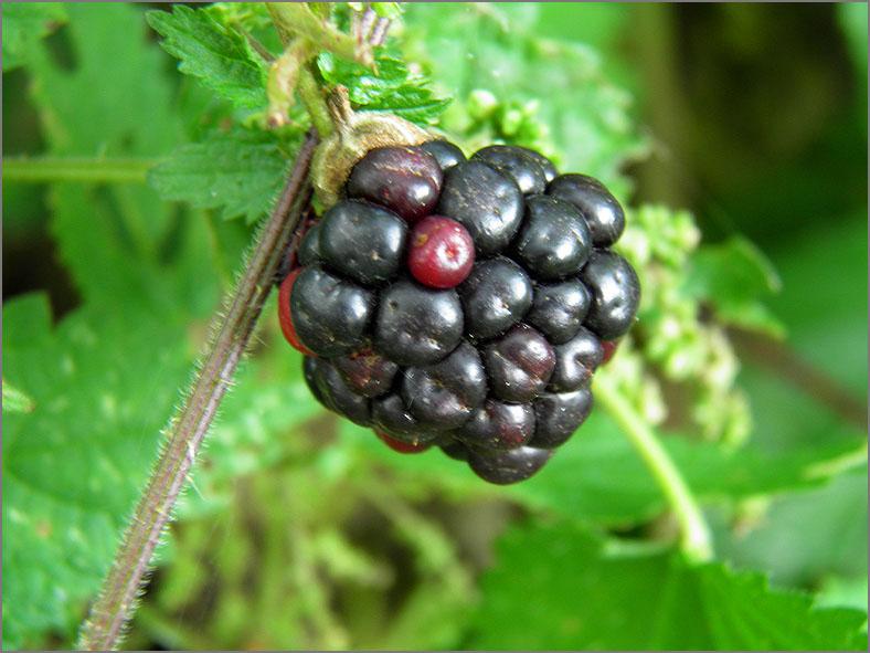 VRCH_0058_braam_rubus fruticosus