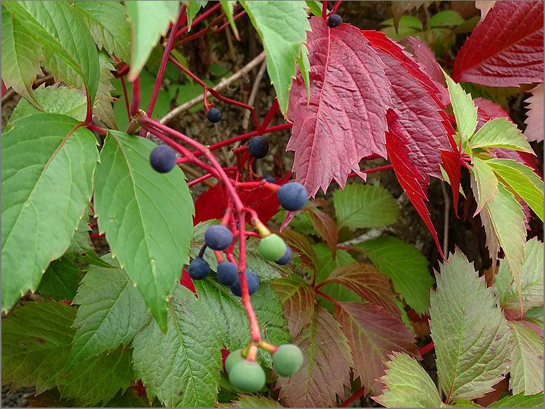 VRCH_0117_wilde wijnstok_vitaceae sp