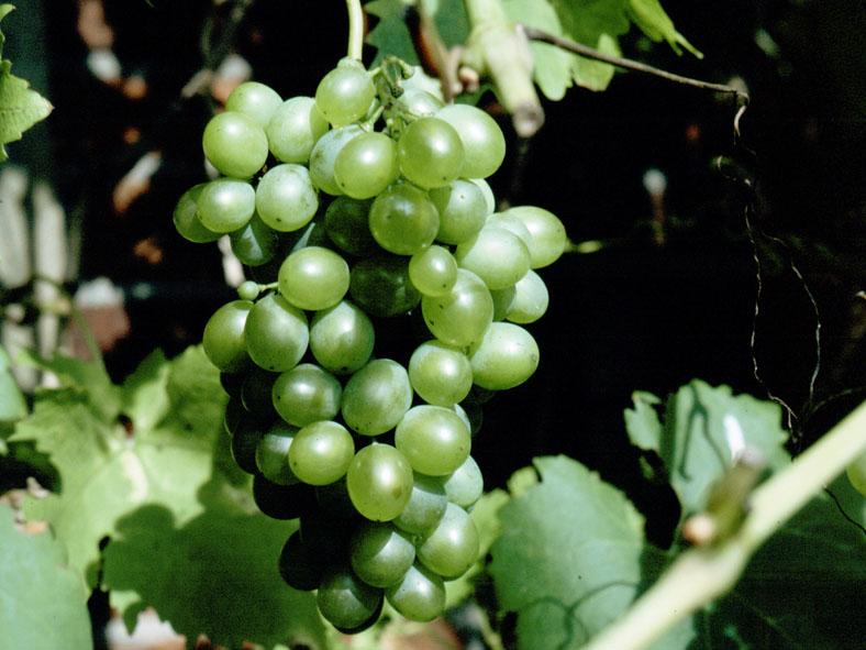 VRCH_0118_ druiven_vitis vinifera