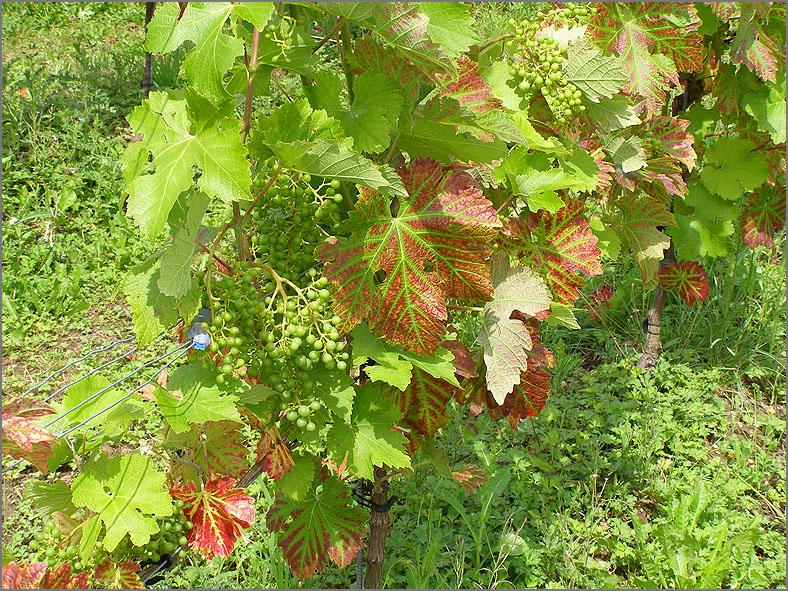 VRCH_0119_druiven_vitis vinifera