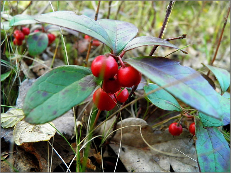 VRCH_0140_bergthee_gaultheria procumbens