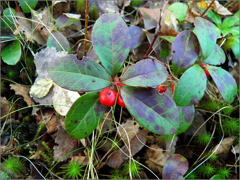 VRCH_0141_bergthee_gaultheria procumbens