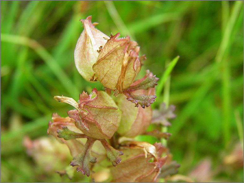 VRCH_0167_moeraskartelblad_pedicularis palustris