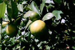 AUS_VRCH_0004_citroen_citrus limon