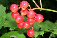 VRCH_0005_gelderse roos_viburnum opulus