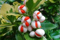 VRCH_0014_ kardinaalsmuts_euonymus fortunei vegetus