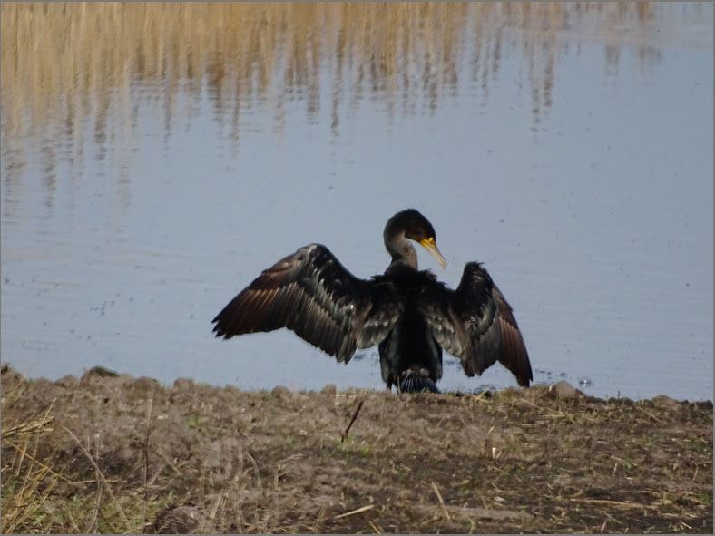 BE_VOG_0008_ aalscholver_phalacrocorax carbo