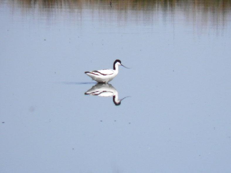 HH_VOG_0003_kluut_recurvirostra avosetta
