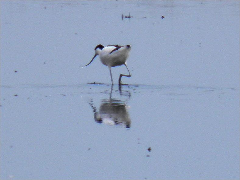 HH_VOG_0004_kluut_recurvirostra avosetta